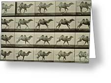 Camel Greeting Card by Eadweard Muybridge