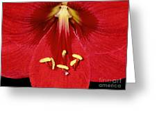 Candy Apple Red Amaryllis Greeting Card by James Temple