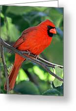 Cardinal Greeting Card by Juergen Roth
