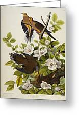 Carolina Turtledove Greeting Card by John James Audubon
