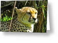 Cheetah   Face Greeting Card by Debra     Vatalaro