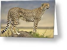 Cheetah Acinonyx Jubatus On Termite Greeting Card by Winfried Wisniewski
