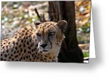 Cheetah Gazing Greeting Card by Douglas Barnett