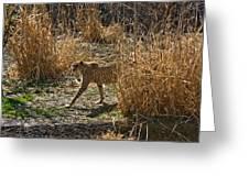 Cheetah  In The Brush Greeting Card by Douglas Barnett