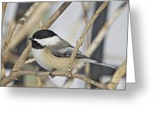 Chickadee-5 Greeting Card by Robert Pearson