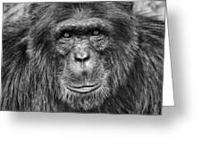 Chimpanzee Portrait 1 Greeting Card by Richard Matthews