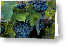 Close View Of Chianti Grapes Growing Greeting Card by Todd Gipstein