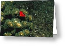Coral Hawkfish Hiding In Coral Greeting Card by James Forte