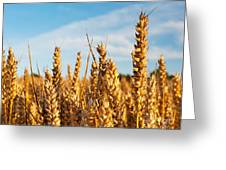Corn Blowing In The Wind Greeting Card by Chris Smith