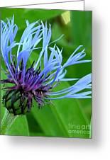Cornflower Centaurea Montana Greeting Card by Diane Greco-Lesser
