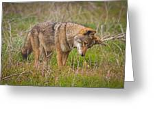 Coyote Greeting Card by Carl Jackson