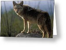 Coyote In Ocotillo Trees Greeting Card by Sandra Bronstein
