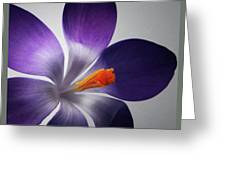 Crocus Triptych. Greeting Card by Terence Davis