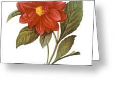 DAHLIA (DAHLIA PINNATA) Greeting Card by Granger