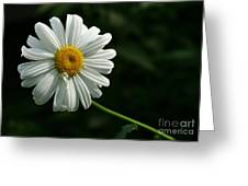 Daisy Greeting Card by Steve Augustin