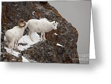 Dall Sheep On A Ledge Greeting Card by Tim Grams