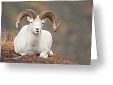 Dall Sheep Ram Greeting Card by Tim Grams