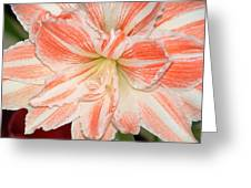 Dancing Queen Amaryllis Greeting Card by Chere Lei