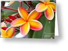 Delicate Plumeria Greeting Card by Brian Governale