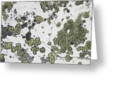 Detail Of Lichen On A White Rock Lake Greeting Card by Michael Interisano