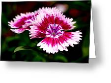 Dianthus Greeting Card by Rona Black