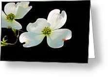 Dogwood Blossoms Greeting Card by Kristin Elmquist