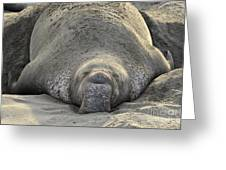 Elephant Seal 3 Greeting Card by Bob Christopher