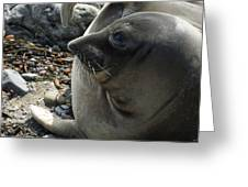 Elephant Seal Greeting Card by Ernie Echols