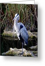 Everglades Heron Greeting Card by Marty Koch