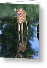 Fawn Reflection Greeting Card by Sandra Bronstein