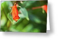 Firecracker Blossom Greeting Card by Douglas Barnett