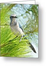 Florida Scrub Jay Greeting Card by Lynda Dawson-Youngclaus