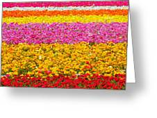 Flower Fields Carlsbad Ca Giant Ranunculus Greeting Card by Christine Till