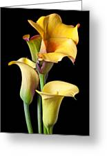 Four Calla Lilies Greeting Card by Garry Gay
