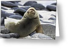 Galapagos Sea Lion Greeting Card by David Hosking and Photo Researchers