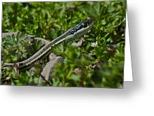 Garter Snake Greeting Card by Douglas Barnett