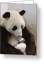 Giant Panda Ailuropoda Melanoleuca Xi Greeting Card by Katherine Feng
