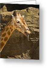 Giraffe Raspberry Greeting Card by Mike  Dawson