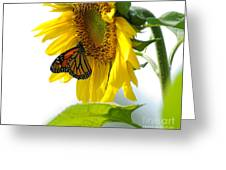 Glowing Monarch On Sunflower Greeting Card by Edward Sobuta
