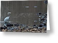 Great Blue Heron Wading 1 Greeting Card by Douglas Barnett