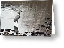 Great Blue Heron Wading 2 Greeting Card by Douglas Barnett