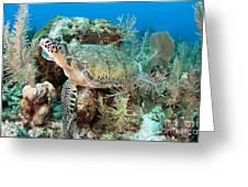 Green Sea Turtle On Caribbean Reef Greeting Card by Karen Doody