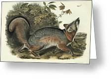 Grey Fox Greeting Card by John James Audubon