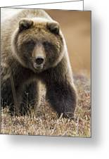Grizzly Bear- Eye To Eye Greeting Card by Tim Grams