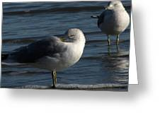 Gull At Rest Greeting Card by Charles Shedd