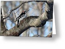 Hairy Woodpecker Greeting Card by Bonnie Brann