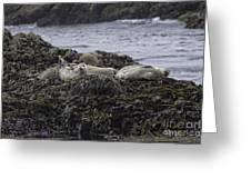 Harbor Seals Awake Greeting Card by Tim Moore