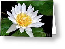 Hawaiian White Water Lily Greeting Card by Sue Melvin