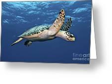 Hawksbill Sea Turtle In Mid-water Greeting Card by Karen Doody