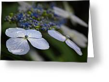 Hydrangea Macrophylla Greeting Card by Juergen Roth